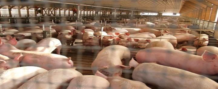 El sector porcino burgalés, líder en bioseguridad de la región