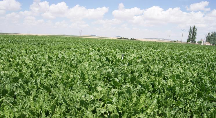 El tratamiento fitosanitario en remolacha debe dirigirse a la prevención