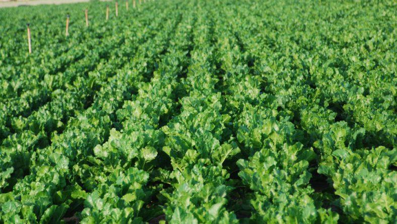 Los cultivadores de remolacha quieren precio y no pago en especie
