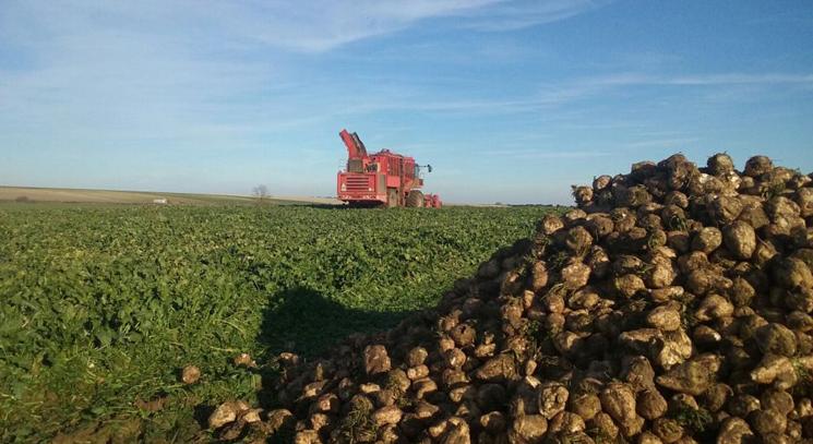 La Junta elevará del 11 al 21% las ayudas al cultivo de la remolacha
