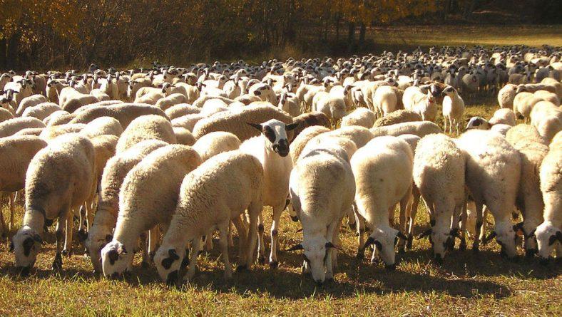 La Junta hace efectivo el pago de las ayudas asociadas al ovino y caprino, que superan los 25,5 millones de euros