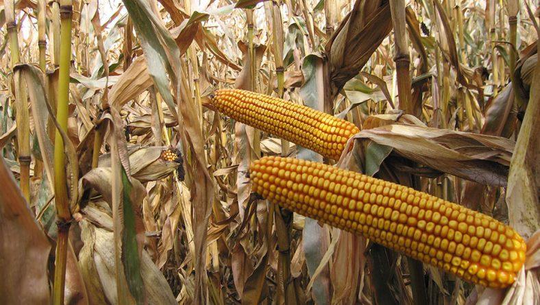 ¿Por qué hoy sigue siendo rentable sembrar maíz en Castilla y León?