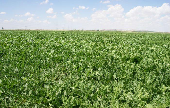 Publicadas ayudas asociadas al cultivo de remolacha, tomate o protéicos