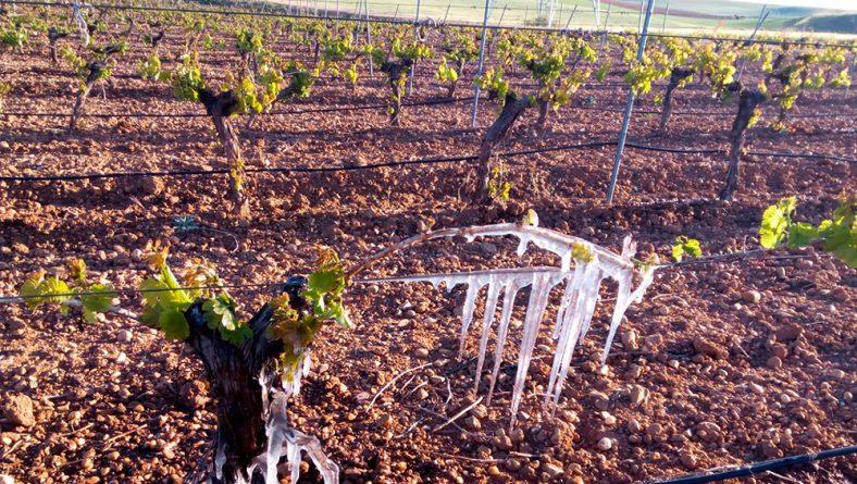 Casi 18.000 hectáreas de uva de vinificación ya han generado partes de siniestro por helada