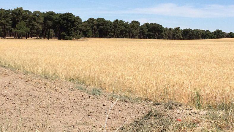 """Asaja: """"Castilla y León recogerá menos de 3 millones de toneladas de cereal, un tercio de lo que se cosechó el año pasado"""""""