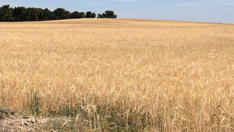 El agricultor percibirá antes de septiembre la indemnización por los daños en cereal