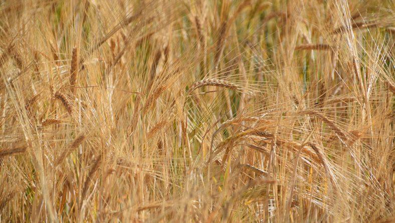 Bajada generalizada de cereales en la lonja de León, excepto el maíz