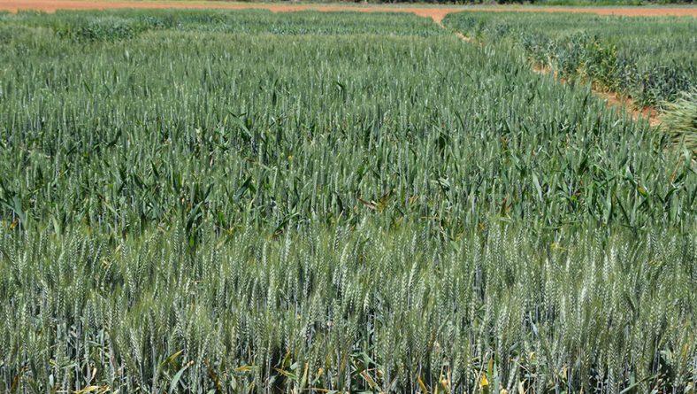 Los ensayos en cereal de Itacyl, referencia para las siembras de esta campaña