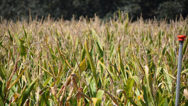 La cosecha de maíz se adelanta, con menos producción y escasa humedad del grano