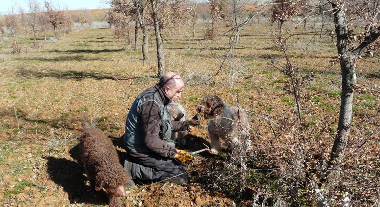 La Diputación de Zamora cosecha las primeras trufas negras en una plantación experimental