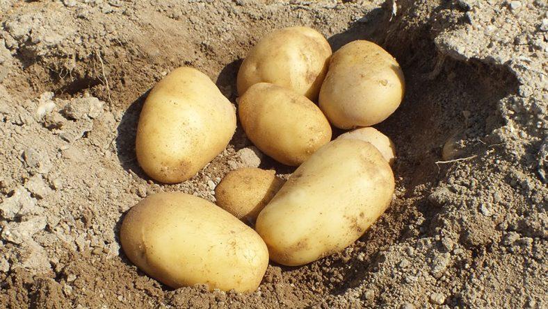 Las mejores variedades de patata para esta campaña