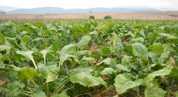 Cómo realizar un control sostenible de malas hierbas en remolacha