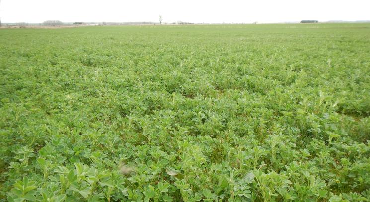 La alfalfa se acerca a su primer corte sin apenas problemas sanitarios