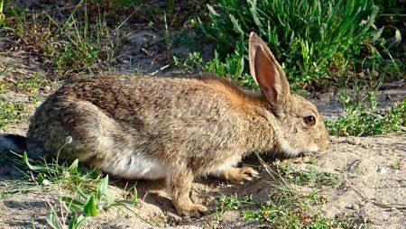 Solicitan que los Presupuestos incluyan partidas contra la sobrepoblación de conejos