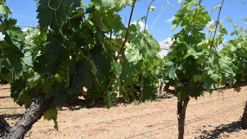 El 30 de abril, último día para asegurar la uva de vino ante el riesgo de pedrisco