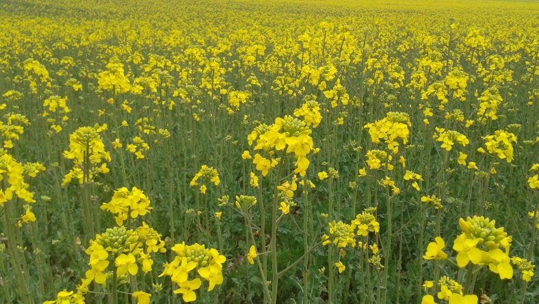 La colza que ha superado la sequía apunta a que será rentable