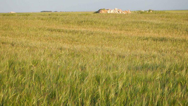 Castilla y León podría duplicar su producción de cereales esta campaña, según ACCOE