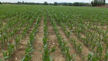 Maíz y girasol concluyen en breve una larga campaña de siembra condicionada por las lluvias