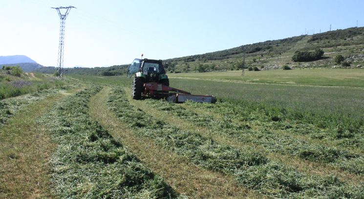 La humedad arruina la alfalfa segada que debía secarse al sol