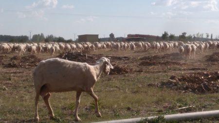 El Gobierno actualiza la norma sobre clasificación de canales de porcino, vacuno y ovino