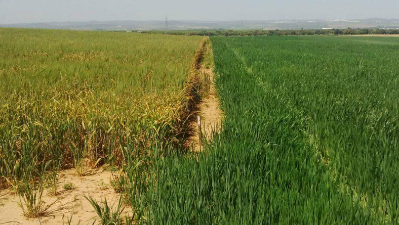 Es un verano para estar muy encima de la sanidad de los cultivos en Castilla y León