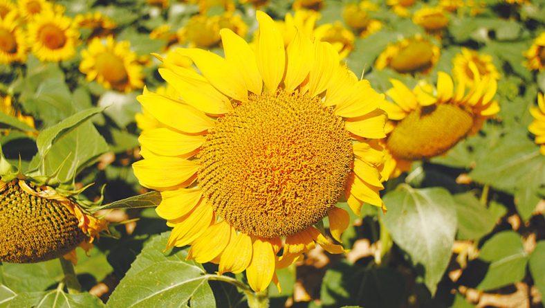 El girasol se postula para una gran cosecha si un calor excesivo no la echa a perder