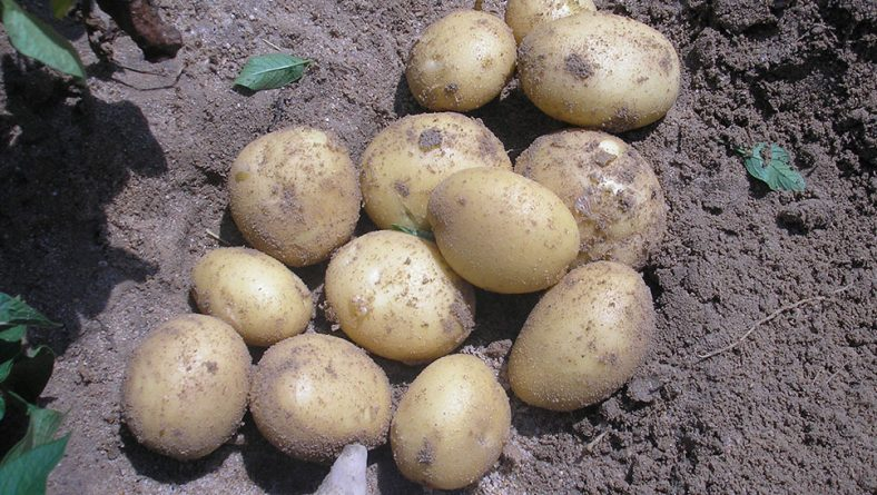 El precio de la patata se mantiene en el entorno de los 21 a 24 céntimos