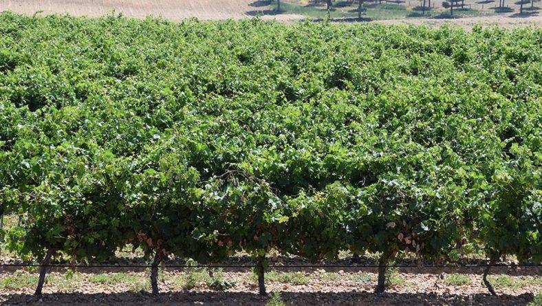 La uva está sana a pesar de la meteorología inestable