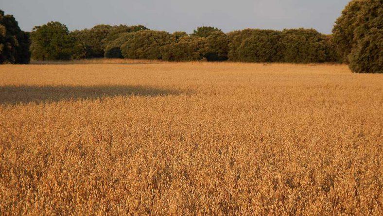 El precio de cereales y forrajes cierra agosto con un ligero ascenso