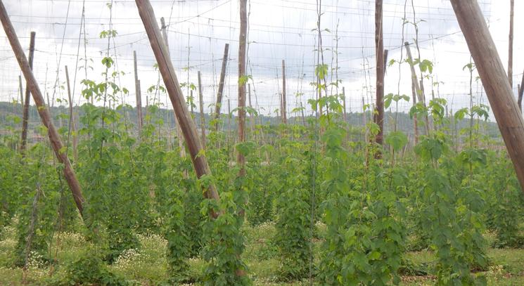 La cosecha de lúpulo arranca en el Órbigo con dudas sobre su rentabilidad