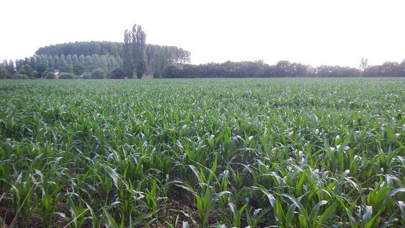 El maíz necesita más sol y que no hiele para recuperar el atraso