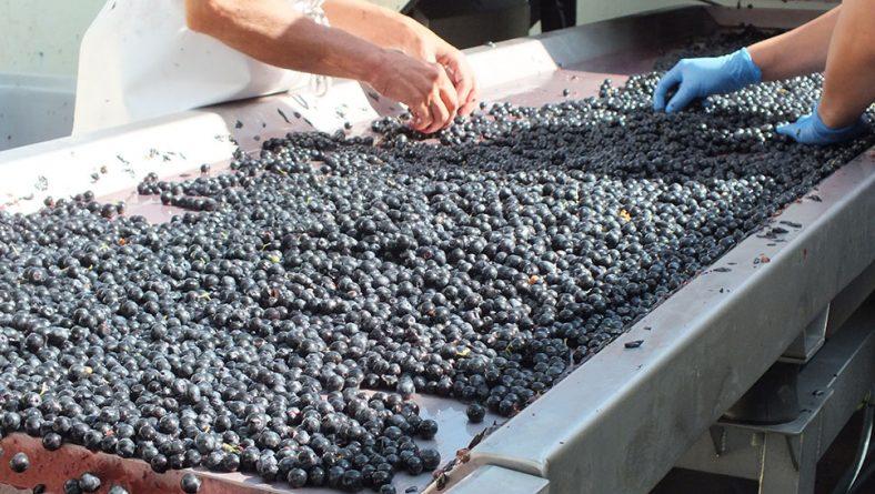 Unión de Uniones prevé para esta vendimia un buen comportamiento de los precios de la uva