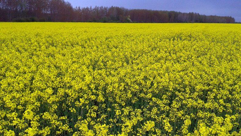 La falta de lluvias pone en jaque la siembra de colza en los secanos de Castilla y León