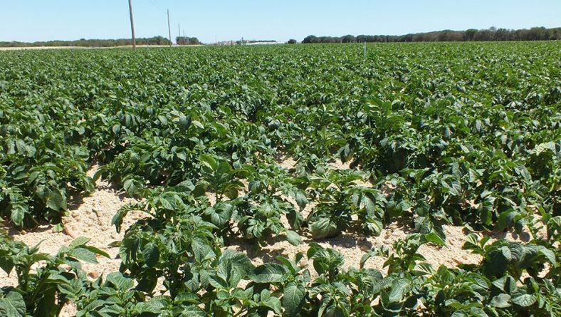 Cuatro detenidos por el uso de herbicida ilegal en campos de patata de Salamanca