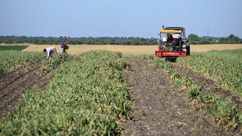 El Grupo Gispano-Franco-Italiano-Portugués prevé que el ajo europeo reducirá su superficie de este año