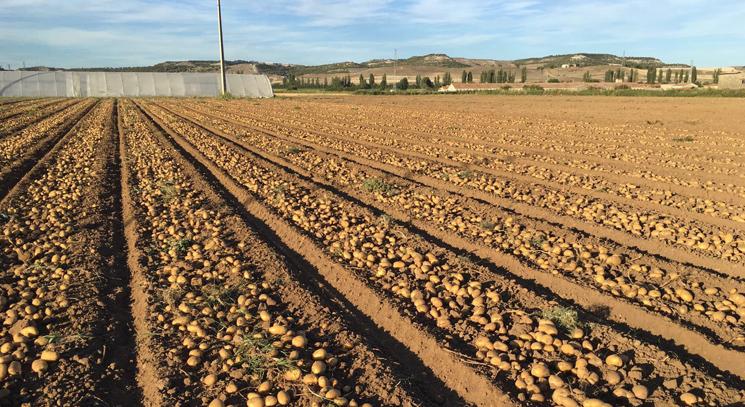 El norte de la UE espera que los altos precios en patata se mantengan hasta primavera