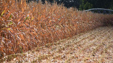 Comienza a cotizar el maíz a 171 euros en la Lonja de León