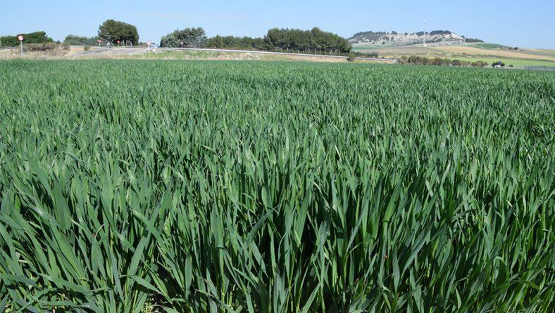 Hace falta bastante más lluvia para enderezar la campaña agrícola en Castilla y León