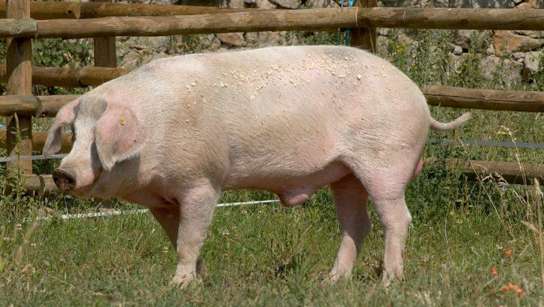 Una granja de Valladolid, Premio Porc D'Or Ibérico con Diamante
