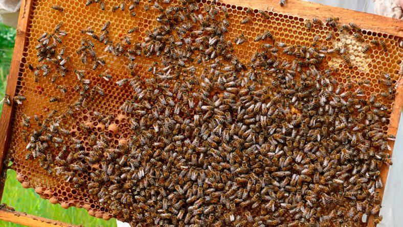 Aprobada la convocatoria de subvenciones para programas de investigación en el sector apícola