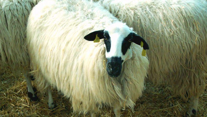 En Urcacyl están satisfechos con la subida de precios en el sector del ovino de leche