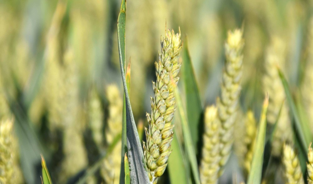 Nueva sentencia condenatoria por la explotación ilegal de variedades vegetales protegidas de cereal