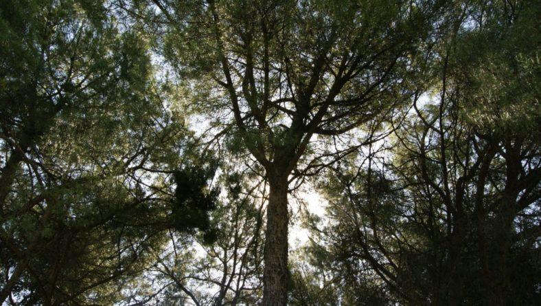 Castilla y León busca un fitosanitario para luchar contra la chinche en la piña del pino piñonero
