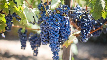 Unión de Uniones considera que la campaña de vino no debería tener especiales problemas