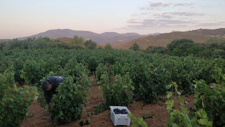 La DOP Sierra de Salamanca comienza la vendimia de una añada marcada por la sequía