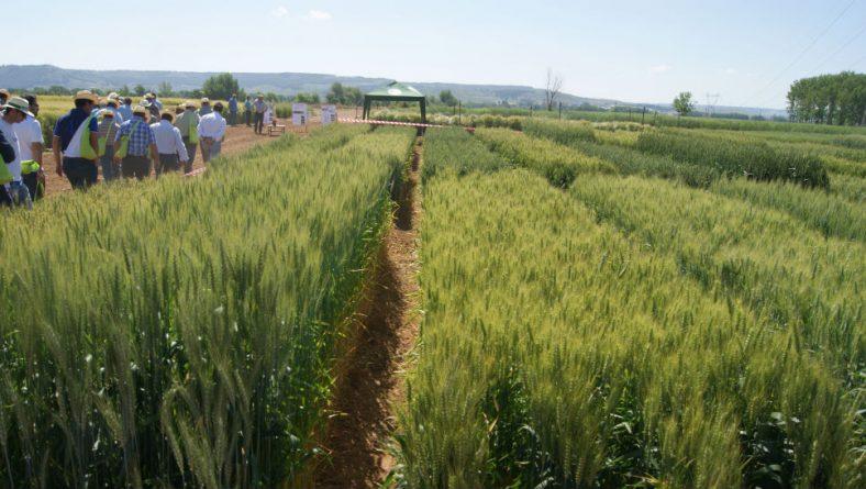 Itacyl prueba el comportamiento de las variedades de cereal más sembradas en Castilla y León