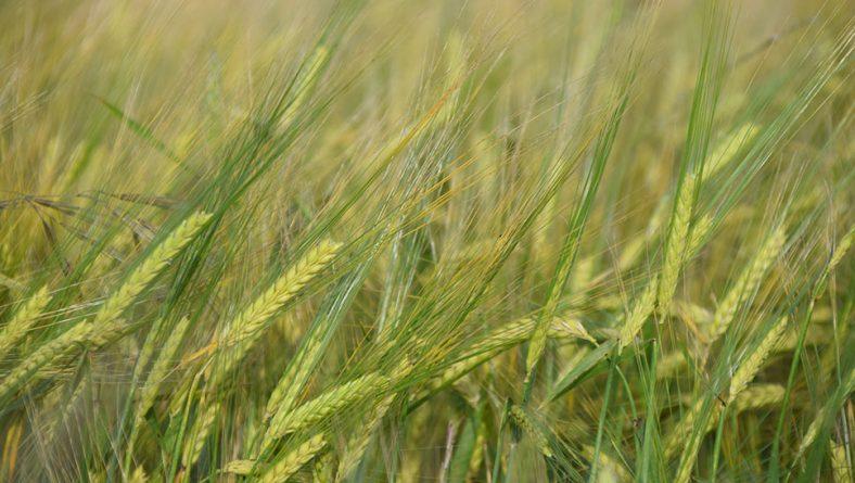 Itacyl evalúa las nuevas variedades de cereal en Castilla y León