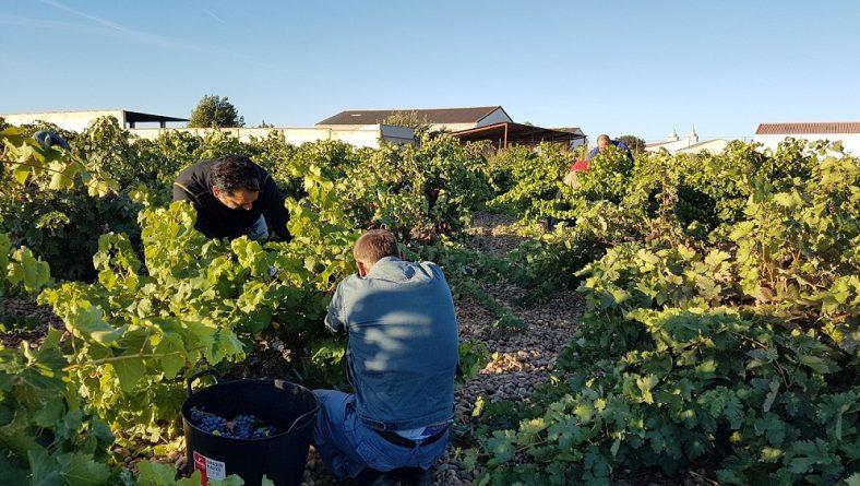 La vendimia aún no se ha generalizado, la producción es escasa y la uva se paga en la Ribera a 1,40 euros