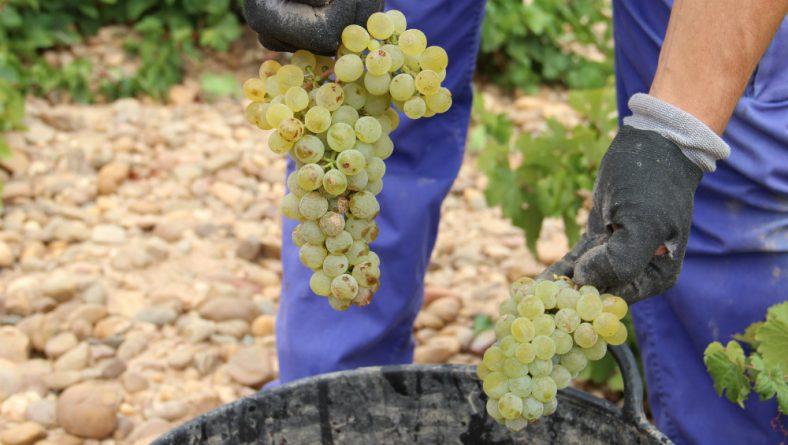 Finaliza la vendimia de la DO Rueda muy satisfechos por el estado sanitario de la uva