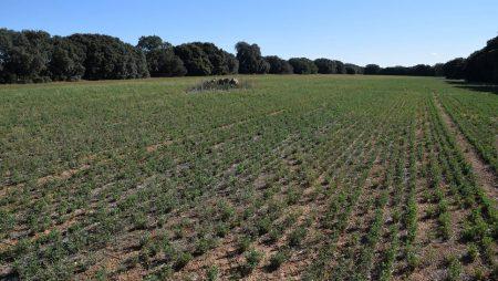Cómo reconocer las malas hierbas en alfalfa
